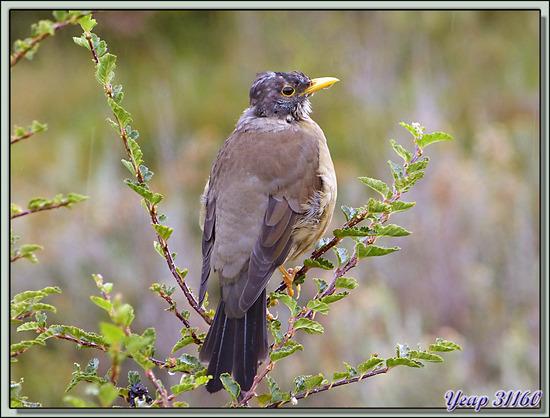 Merle austral juvénile (Turdus falcklandii) - Terre de Feu - Argentine