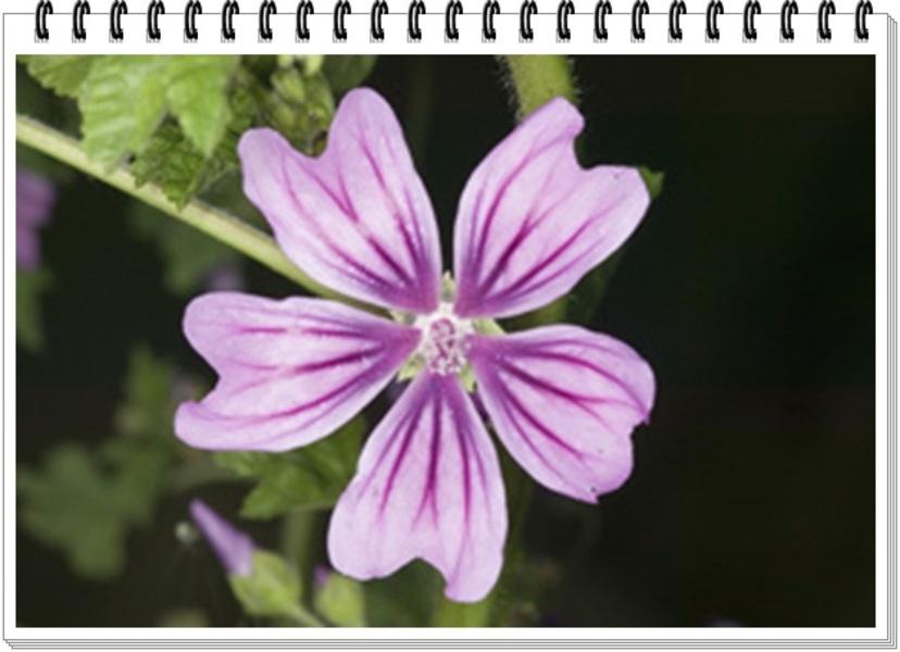 Fleur de mauve ♥
