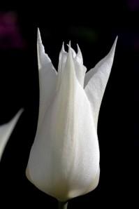 Tulipes Sapporo12