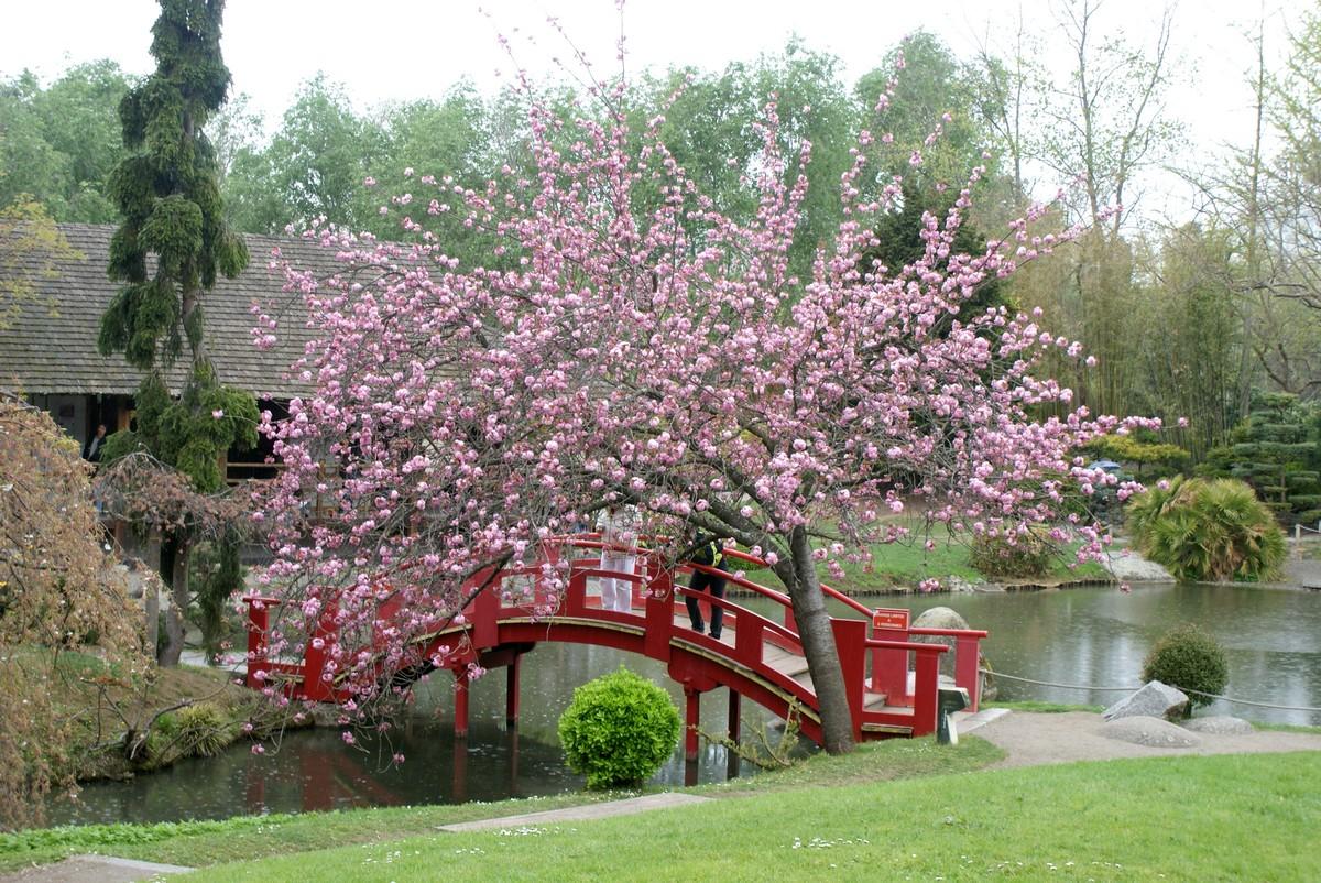 Votez pour kreichaline ca continue merci ma chienne for Cerisier nain garden bing