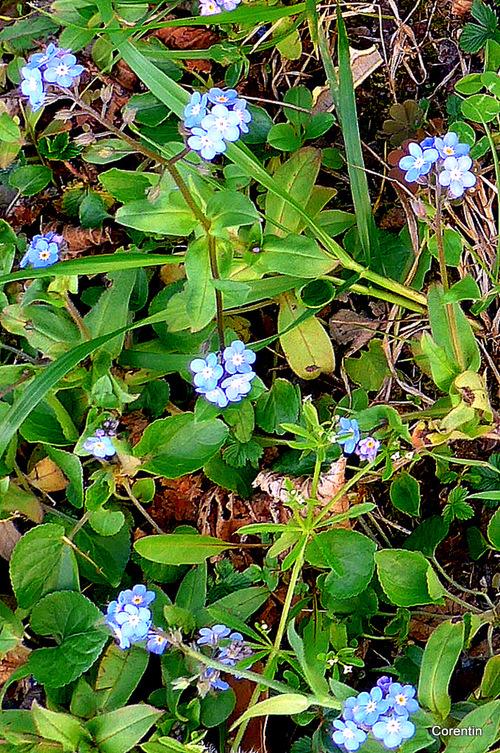 Les fleurs des myosotis