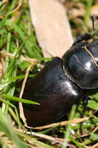 Scarabée ou Cerf-Volant ou Lucanus Cervus
