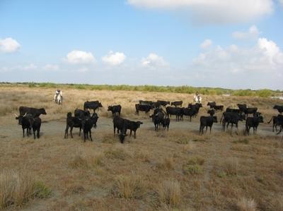 Blog de lisezmoi :Hello! Bienvenue sur mon blog!, arles : les manades en camargues