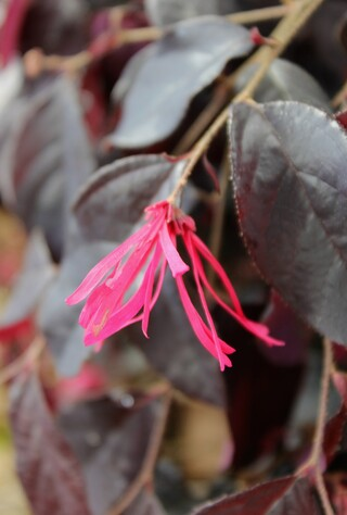 loropetalum chinensis 'Black pearl'