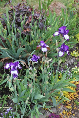 Iris 'Stepping out' bleu et blanc