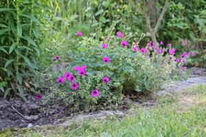 Geranium renardii Philippe Vapelle