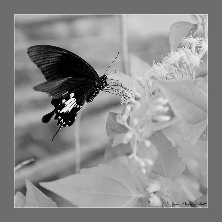 Angoisse de papillon