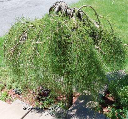 Photo d'un caraganier pleureur - Caragana arborescens pendula