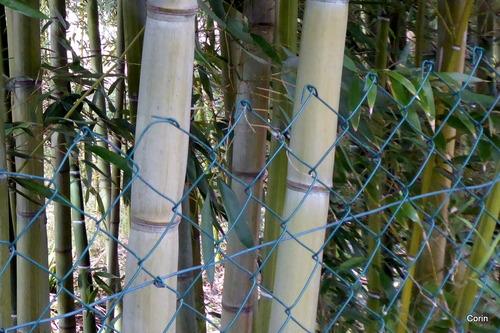Les beaux bambous