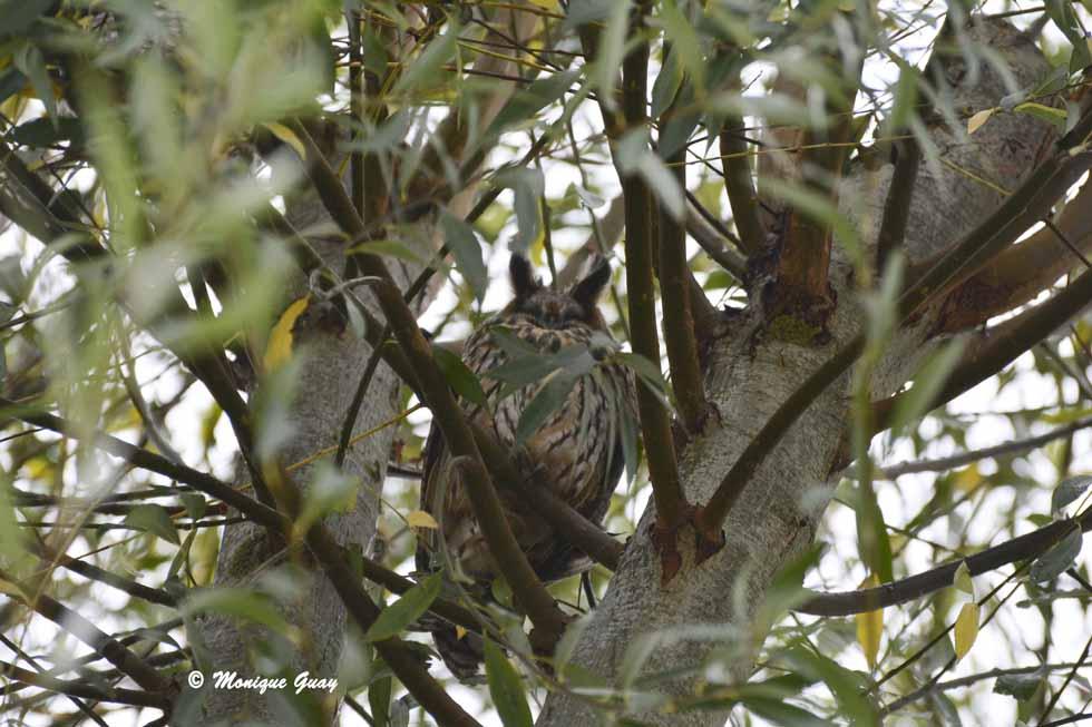 Hibou moyen-duc dans les branches