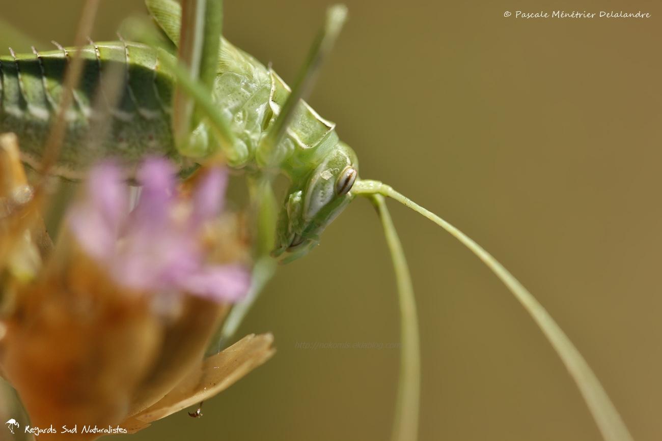 Phaneroptere liliace immature ♂ (Tylopsis lilifolia)