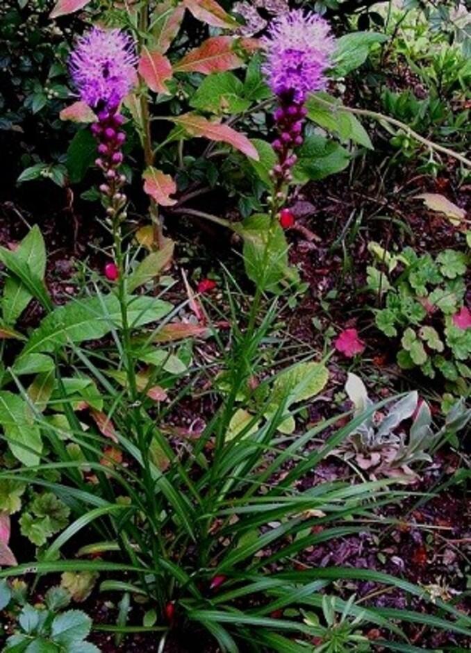 Jardin: Liatris spicata violet ou la plume de Kansas
