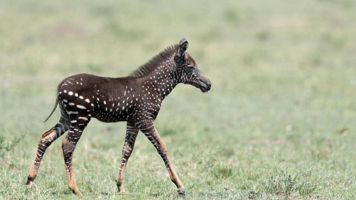 Un énigmatique zèbre découvert au Kenya