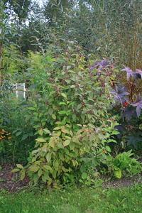 Le callicarpa est appelé aussi arbre aux bonbons en raison de ses baies  de couleur violet qui apparaissent en automne et jusquen hiver.
