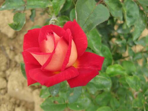 La rose du samedi demandée par Jean Pierre n° 102