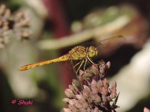 Portraits de libellules