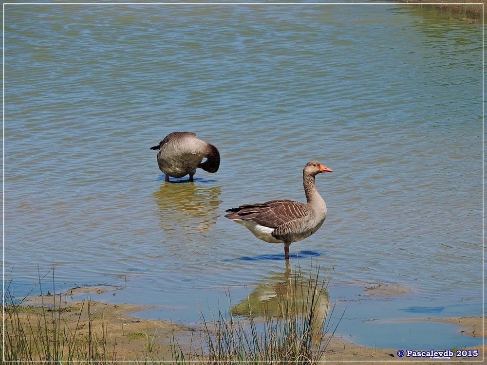Printemps 2015 à la réserve ornitho du Teich - 7/13