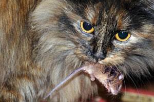 Pourquoi les chats ne peuvent être végétariens ?