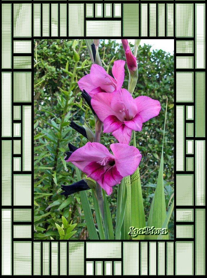 Glaïeul,Fleurs
