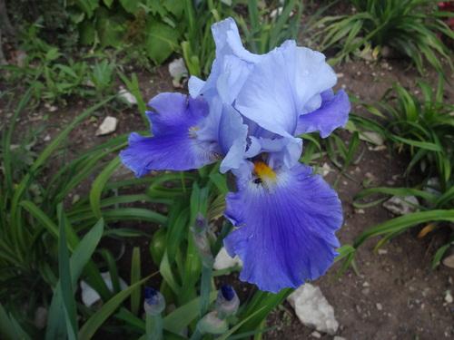 mes fleurs, iris
