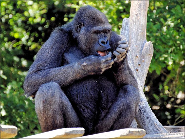 Photo du Gorille des Plaines - Zoo de la Palmyre
