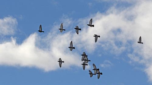 vol de pigeons