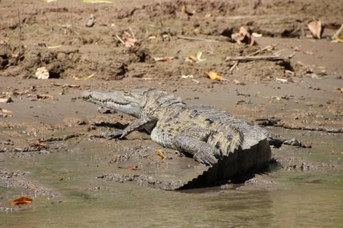 Crocodiles et caïmans