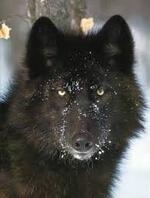 Les Loups de Mercy Falls tome 1 - Frissons