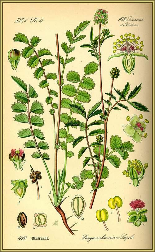 Vertus médicinales des plantes sauvages : Pimprenelle