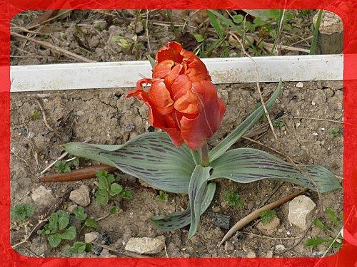 tulipe--2-.jpg