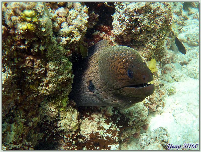 Murène de Java ou Murène géante (Gymnothorax javanicus) - Praslin - Seychelles