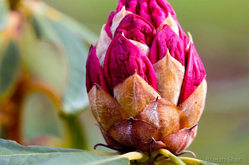 rhododendron, floraison
