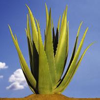La plante aloe vera
