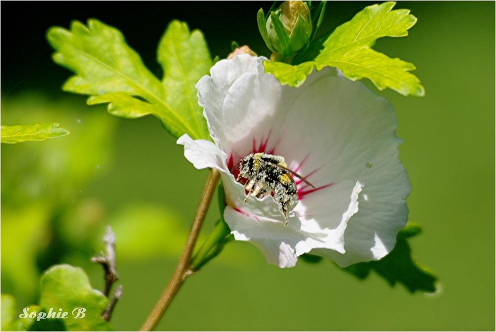 Sur l'hibiscus .
