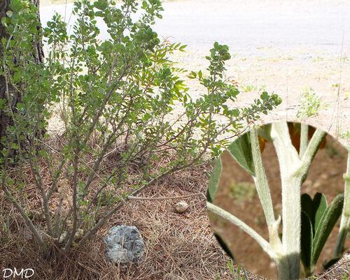 Medicago arborea  -  luzerne arborescente