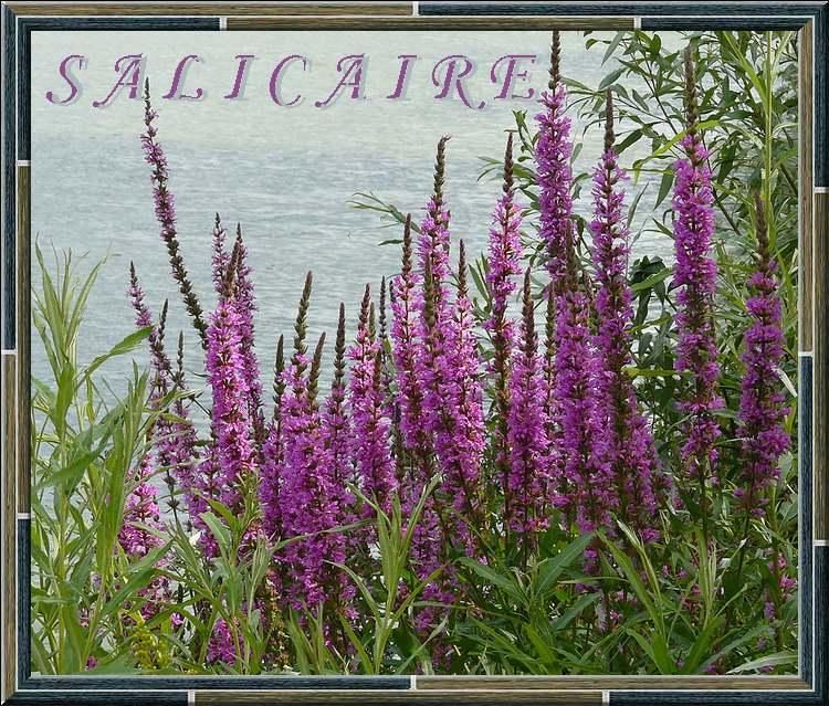 Vertus médicinales des plantes sauvages : Salicaire