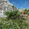 Daphné Bois-joli (Daphne mezereum)