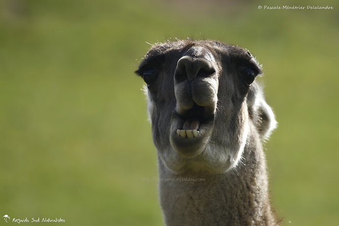 Portraits de Lamas