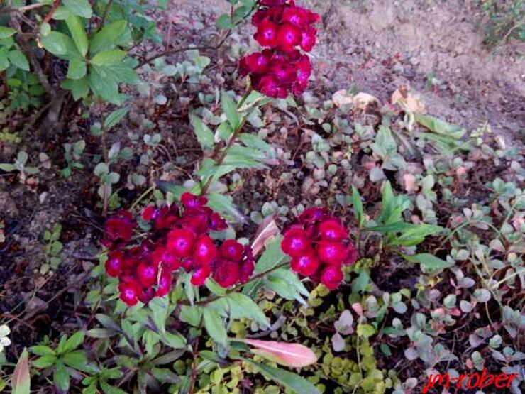 L'oeillet de poète, une jolie fleur incontournable parmi nos parterres