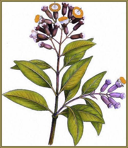 Fleurs cultivées : Giroflier