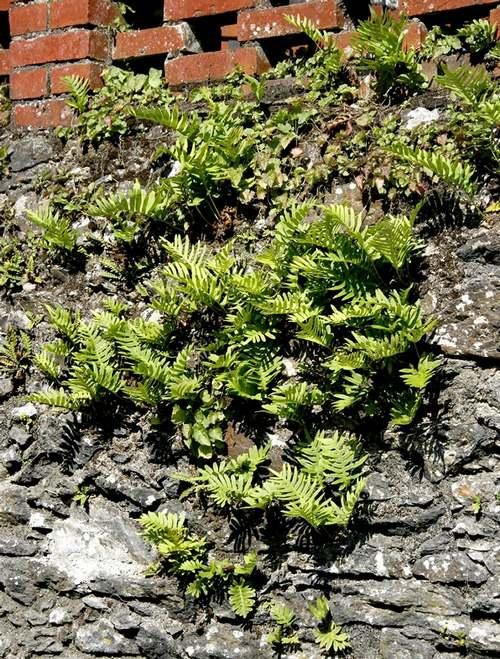 Vertus médicinales des plantes sauvages : Polypode commun