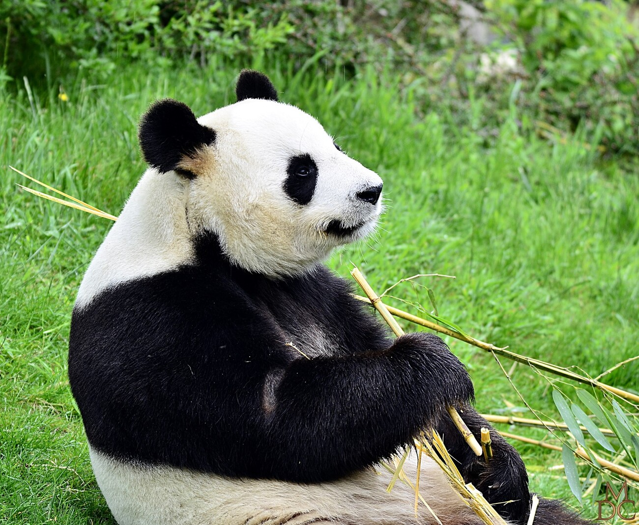 Panda géant ou Grand Panda