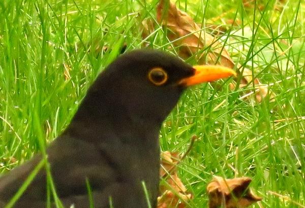D'autres oiseaux ont fréquenté les mangeoires durant cet hiver 2020-2021...