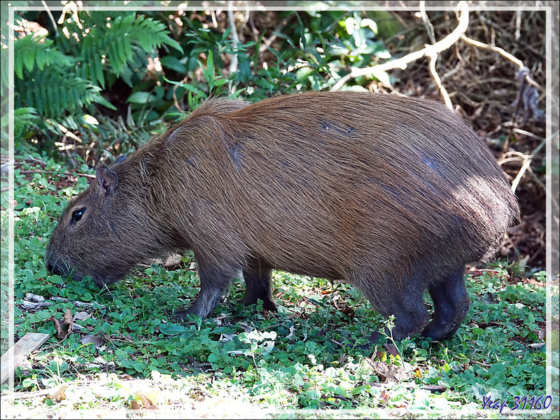 Le Capybara ou Cabiai (Hydrochoerus hydrochaeris) et les coatis - Foz do Iguaçu - Brésil