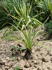 dasylirion cedrosanum