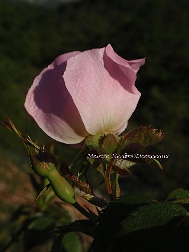 églantier, rosa canina copie