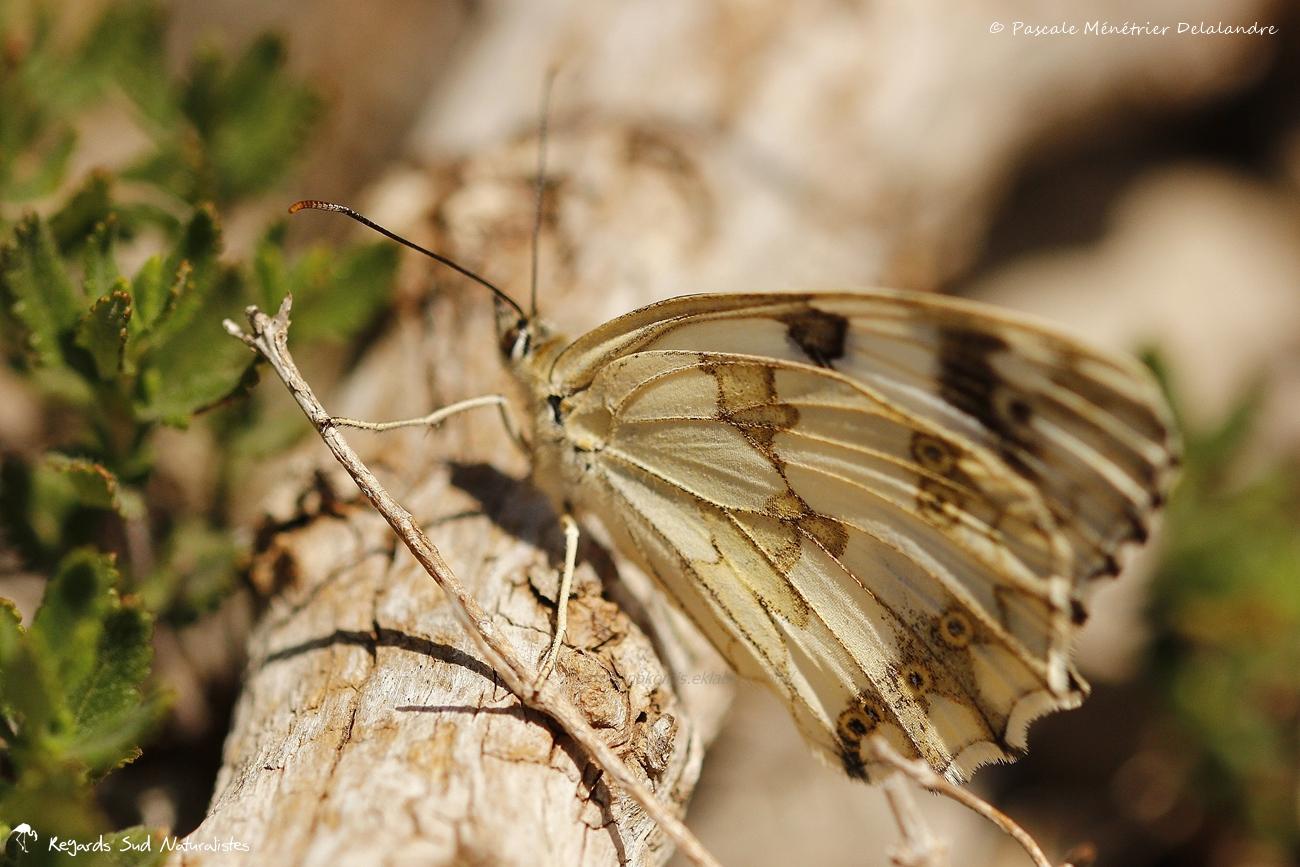 Échiquier de l'Ibérie - Melanargia lachesis - Nymphalidae