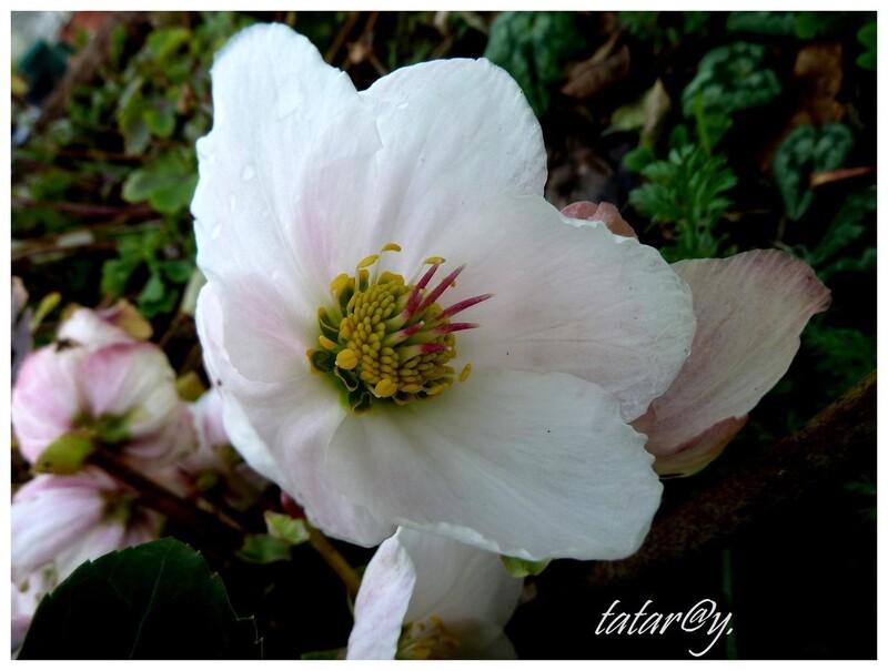 Rose de Noël.