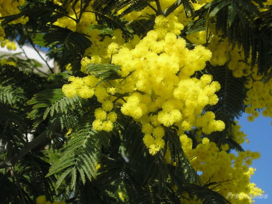 Le mimosa en fleur à Pornic