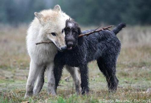 Amitié entre Loup et chien